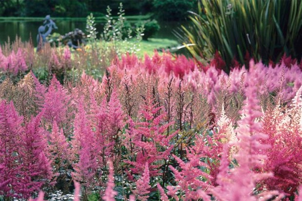 Feathery astilbe flowers, in shades of pink