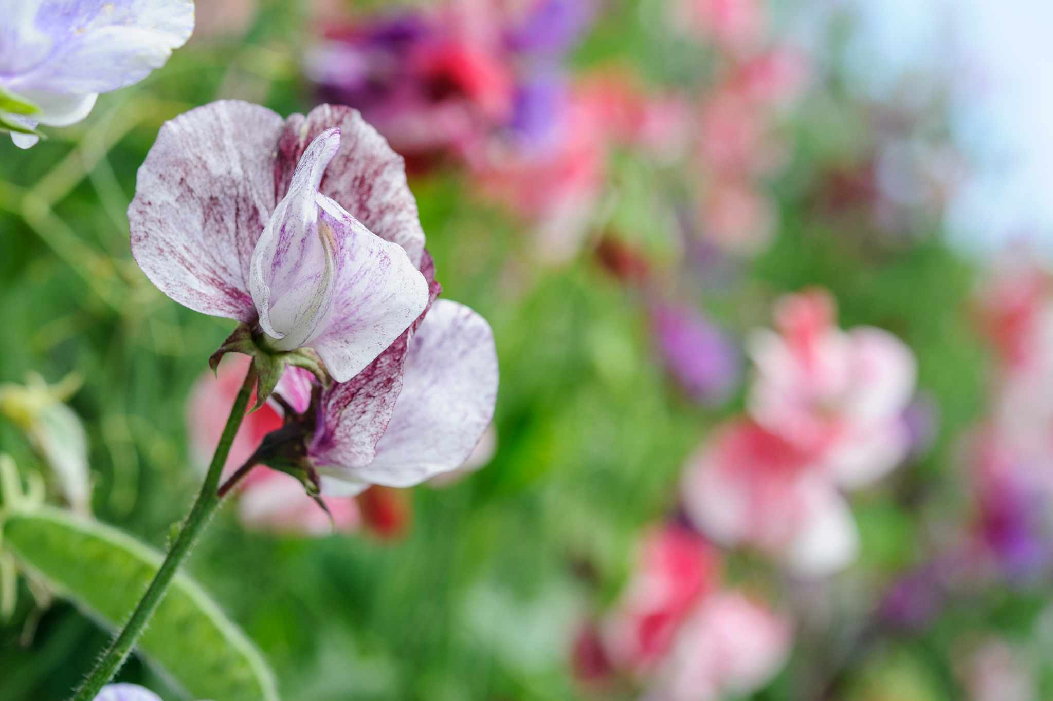 Sowing sweet peas in spring video