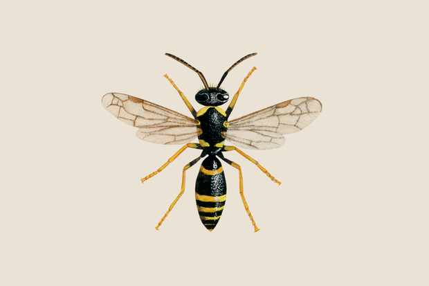 mason-wasp-ancistrocerus-parietum-2