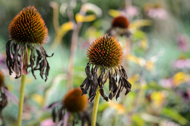 echinacea-seedheads-6