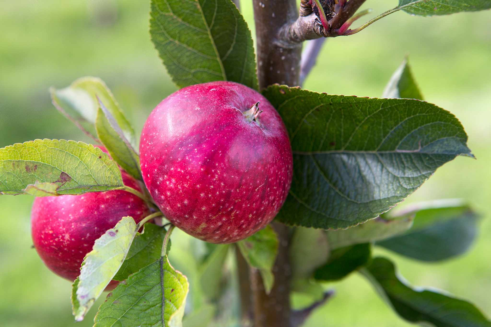 Best Apple Varieties to Grow