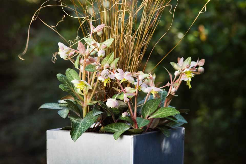 Hellebore and carex pot display