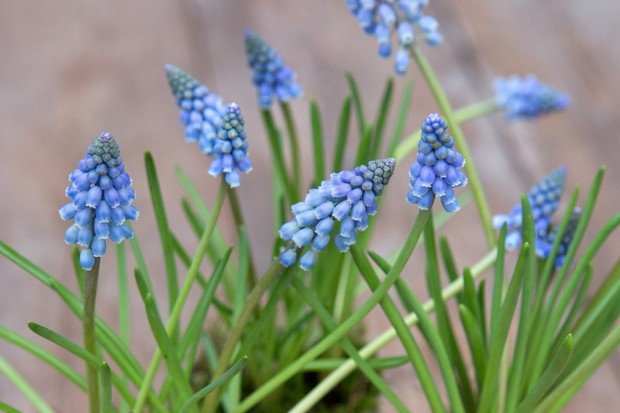 grape-hyacinth-muscari-5