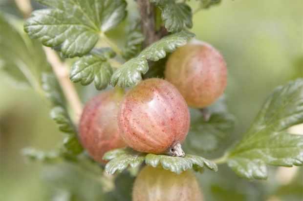 growing-gooseberries-in-pots-2