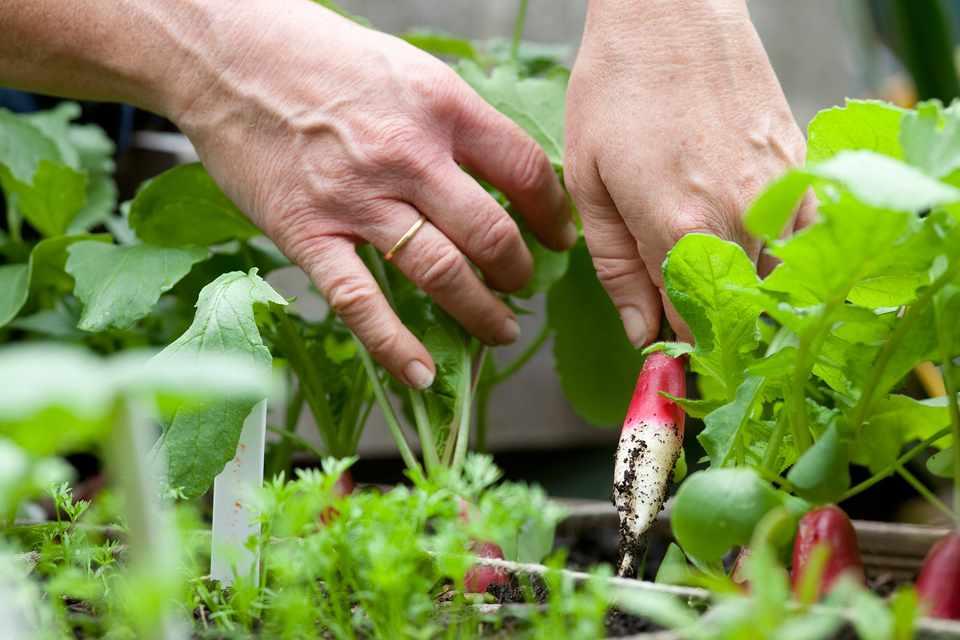 Harvesting a radish