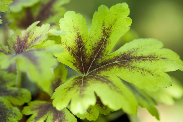 Pale green leaves with bronzing around the ribs