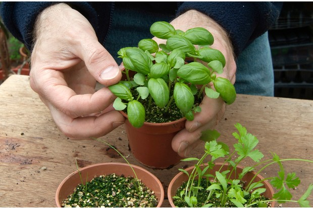 How to grow herbs from seed discs - potting on seedlings