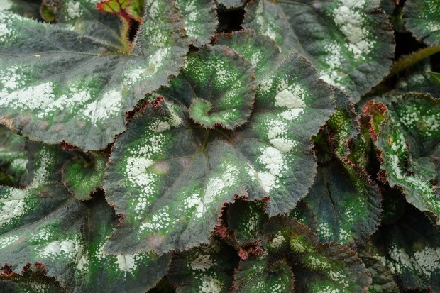 Green, grey and bronze begonia leaves