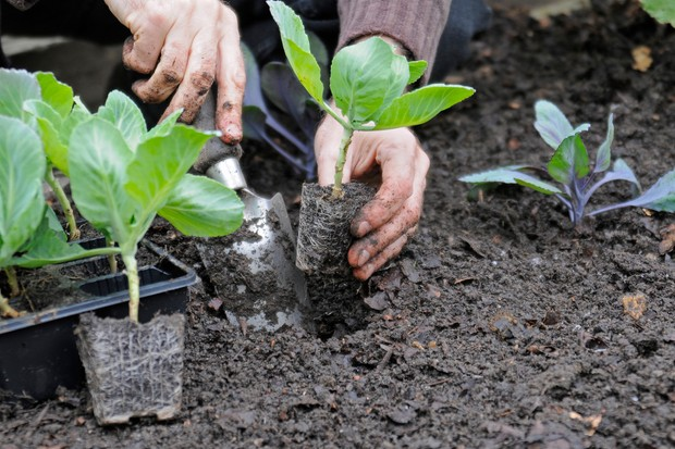 How to plant brassicas - planting them in the soil