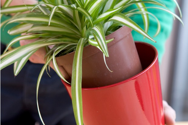Lifting a spider-plant and its pot out of a container