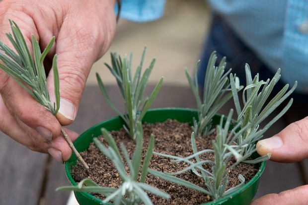 taking-lavender-cuttings-3