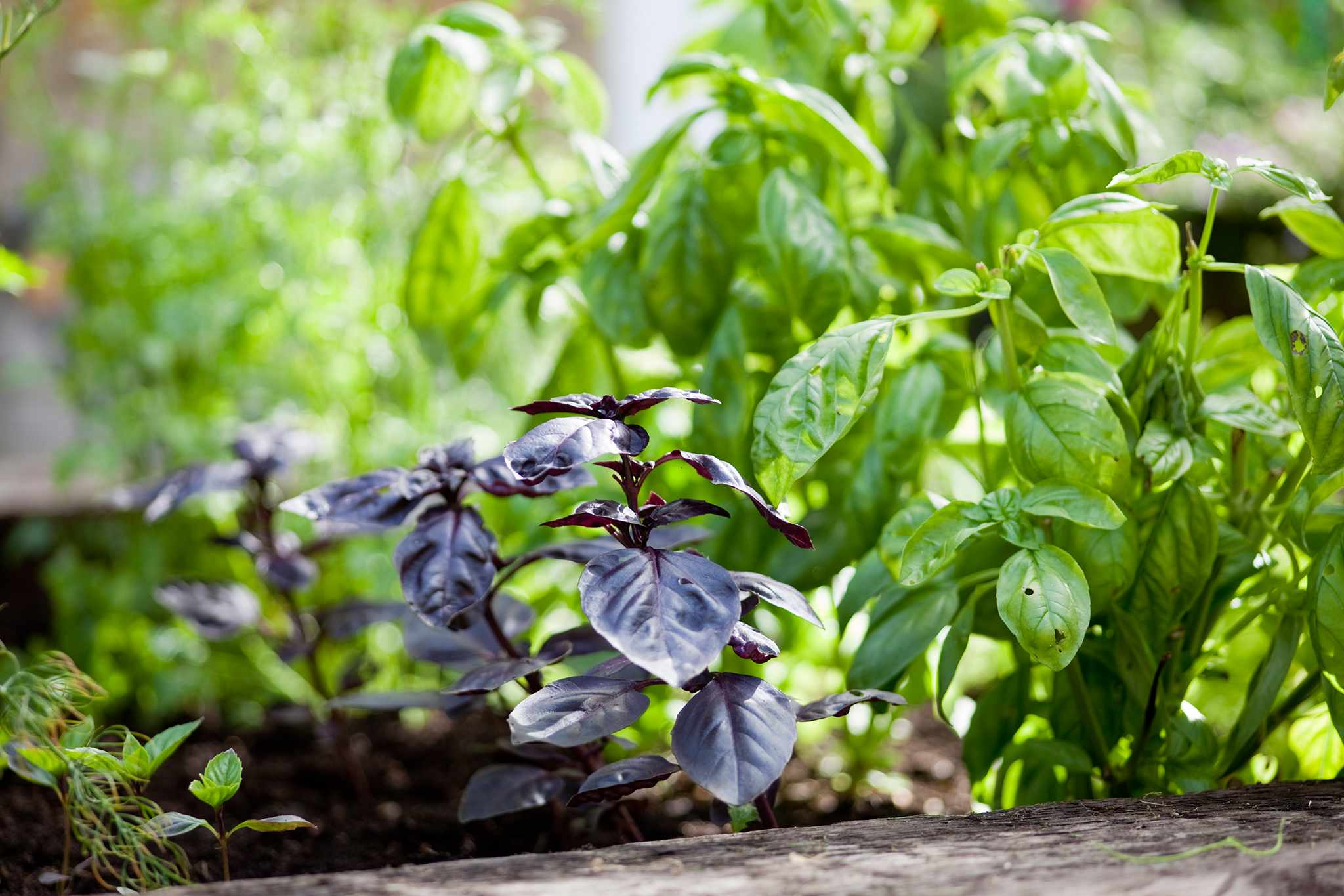 Green and purple basil