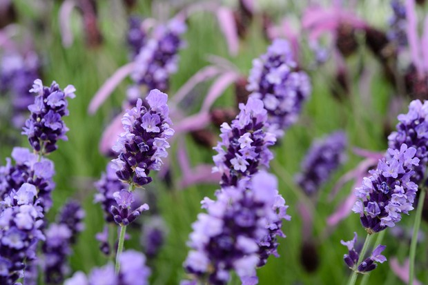 Best lavenders to grow - 'Hidcote'