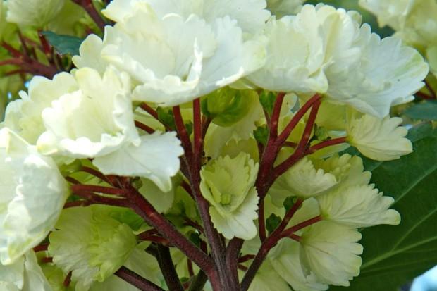 hydrangea-macrophylla-zebra-2