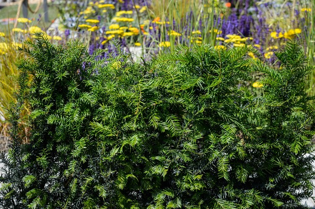 yew-taxus-baccata-4