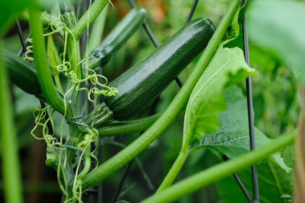 courgettes-for-harvesting-2