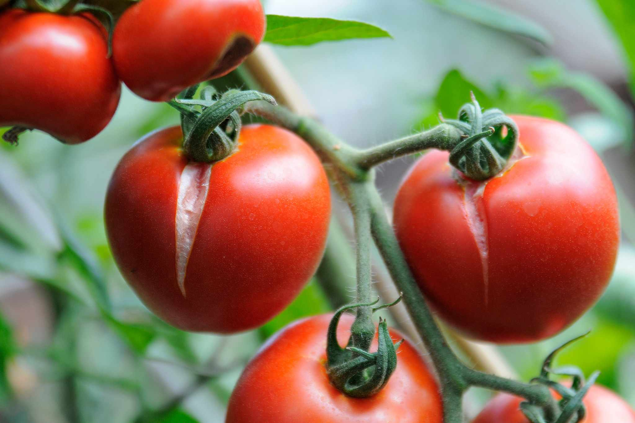 Tomatoes that have split whilst ripening on the vine