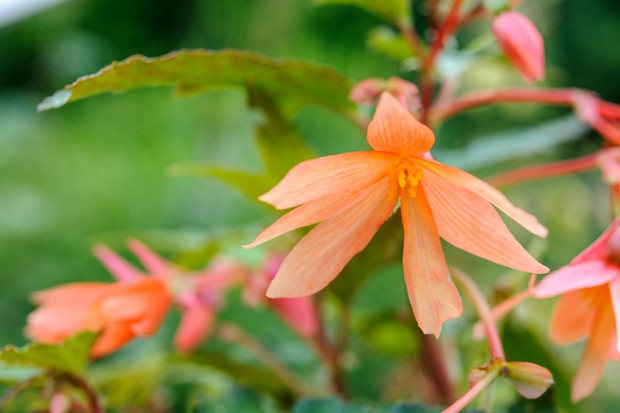 Peachy blooms of begonia 'Beauvilia', with elongate petals