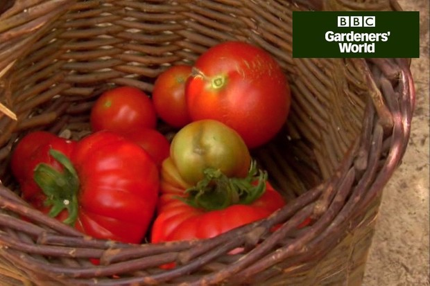 How to harvest tomatoes video