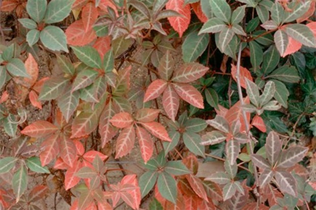Coppery leaves of Virginia creeper