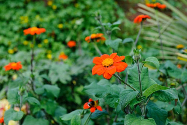 Bright-orange mexican sunflowers