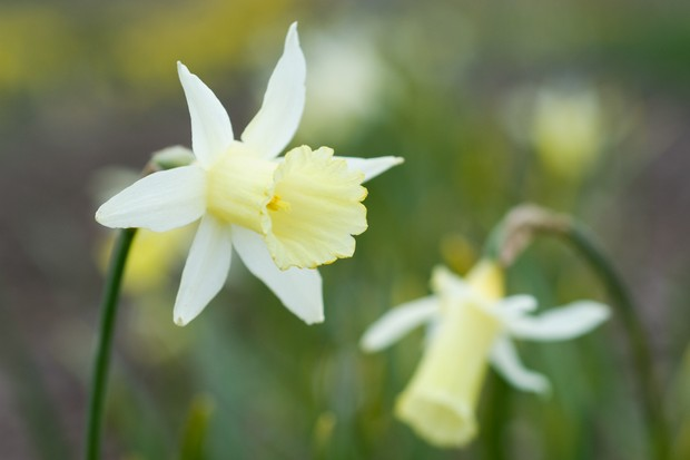 Daffodil 'Elka'