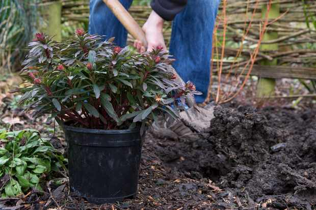 Planting a euphorbia