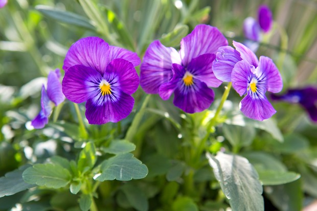 Purple flowers of pansy 'Freefall Lavender'