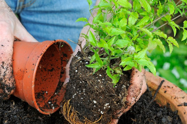 planting-a-clematis-7