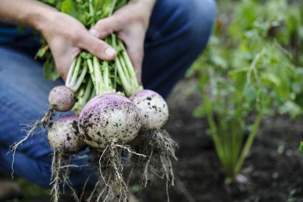 A bunch of turnips pulled from the earth