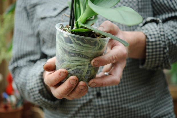 phalaenopsis-growing-in-clear-pot-2