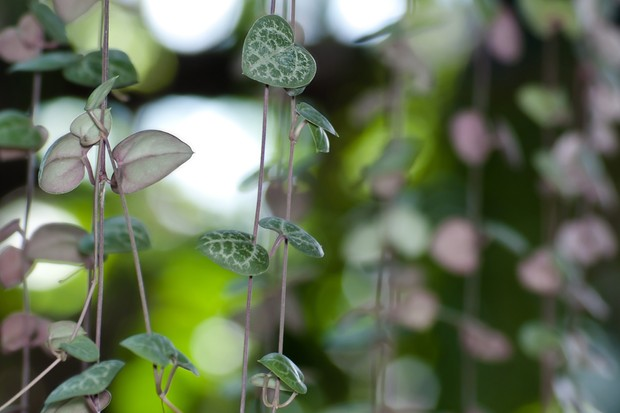 ceropegia-woodii-hearts-on-a-string-2