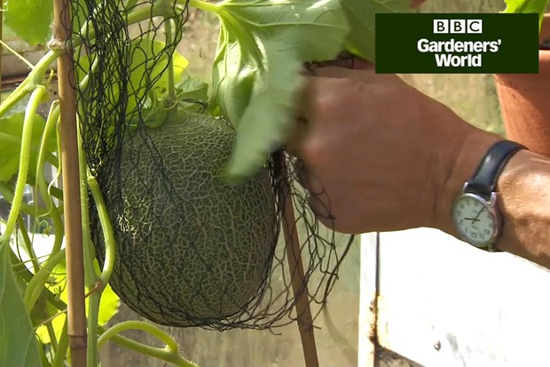 Monty Don's outdoor melon trial (part three)