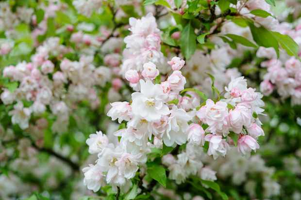 Pale pink blossom on fruit tree