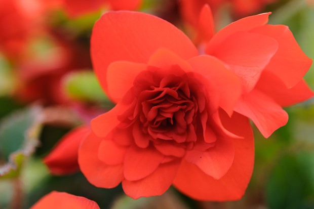 Huge, red, double blooms of begonia 'Waterfall'