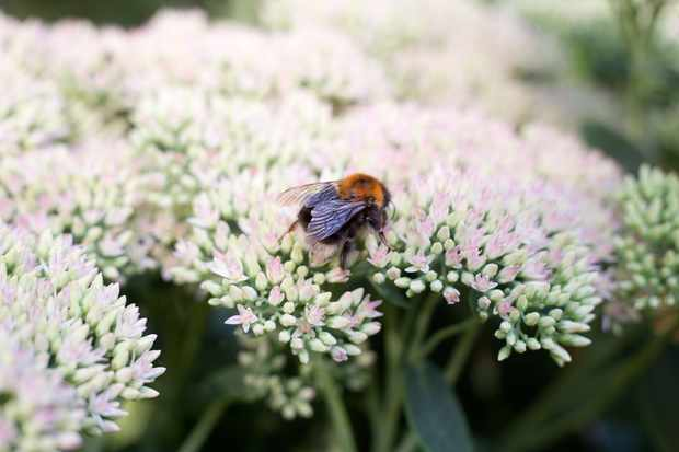 Bee on a hylotelephium flower
