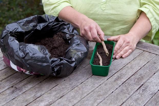 How to grow sea kale - planting the thongs