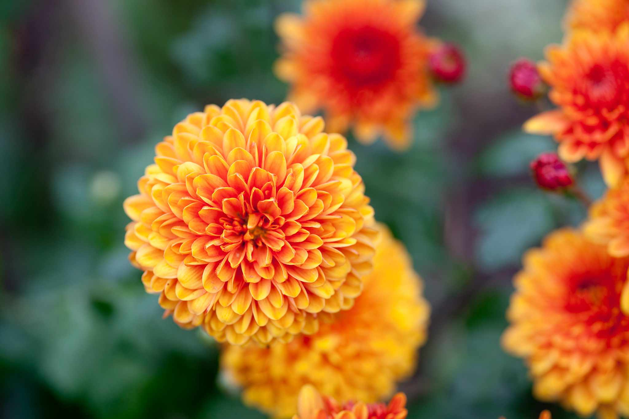 Deep orange chrysanthemum 'Bruno Bronze'