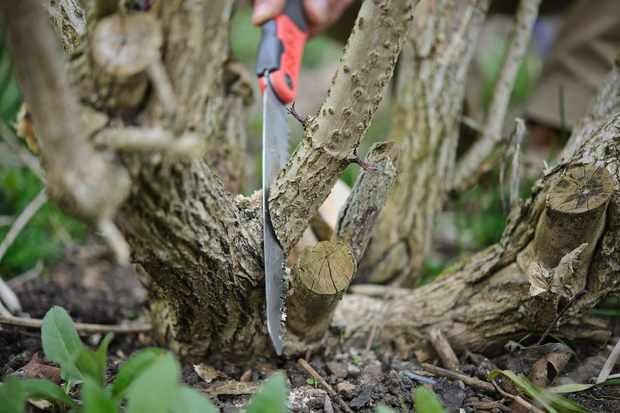 sambucus-pruning-2
