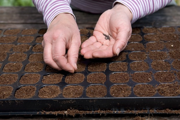 Sowing onion seed
