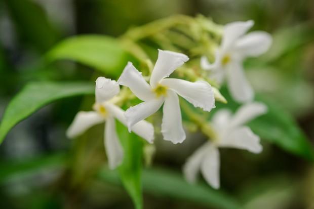 trachelospermum-jasminoides-6