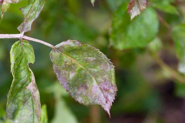 Rose leaves with the white dust coating of rose powdery mildew