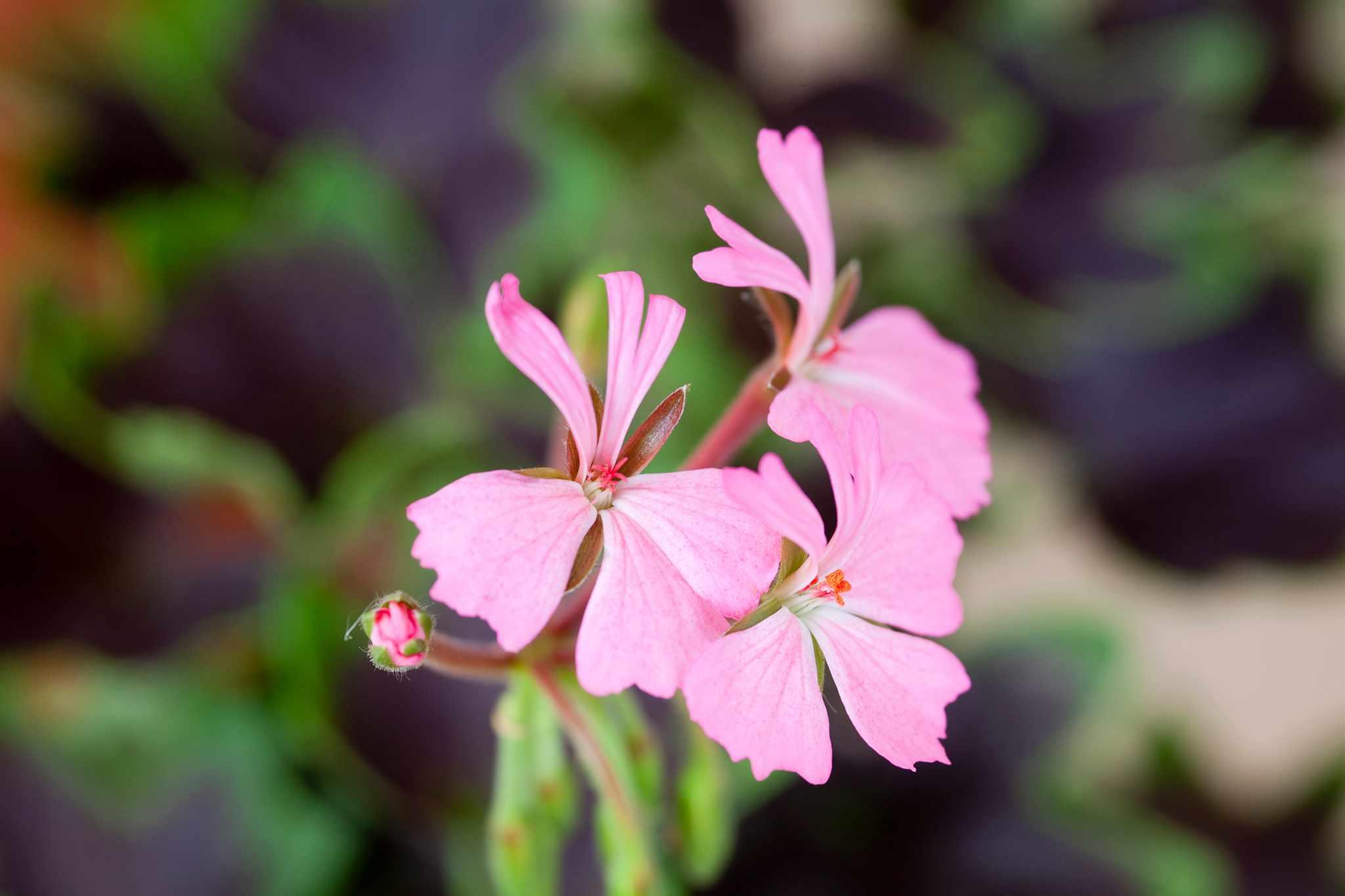 Stellar geranium 'Fallen Angel'