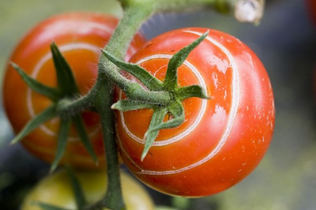 Ripe tomatoes on the vine with rings of scarring due to skin cracking