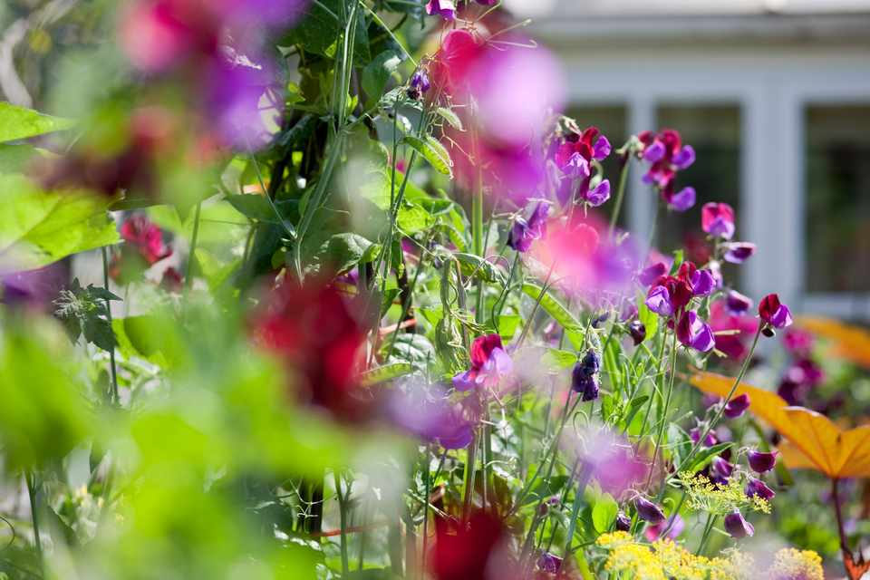 Sweet peas - Growing Guide
