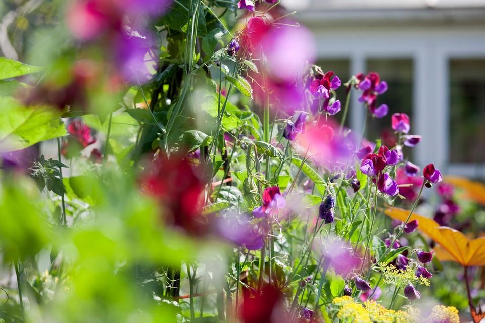 How To Grow Sweet Peas Bbc Gardeners World Magazine