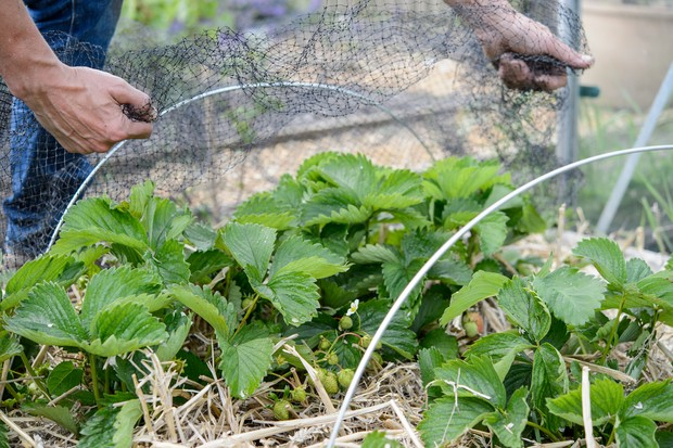 Protecting strawberries from mud with straw and from birds with netting