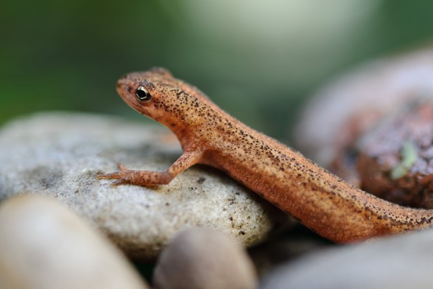A newt on pebbles