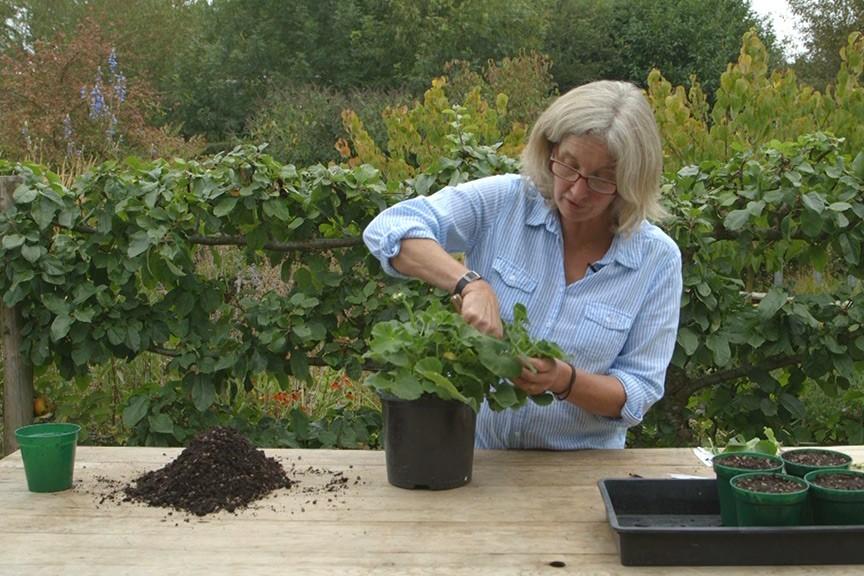 Taking pelargonium cuttings NFG video