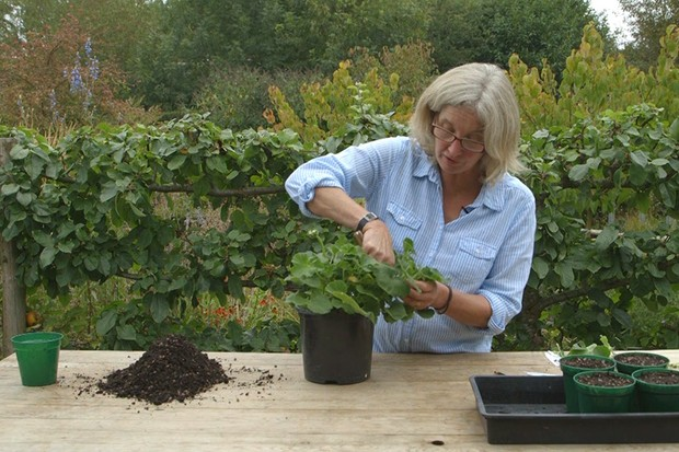 Taking pelargonium cuttings
